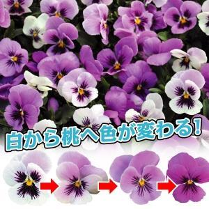 商品情報 ご近所さんもびっくり!花色が変化するミラクルビオラ!白から薄桃・桃色へと色が変わります。花...