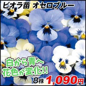商品情報 ご近所さんもびっくり!花色が変化するミラクルビオラ!白花から青色に咲き進む涼やかな雰囲気で...