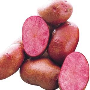 秋植えじゃがいも 種芋 種いも ドラゴンレッドR(西海31号P) 1kg / ジャガイモ じゃが芋 馬鈴薯 ばれいしょ 種じゃが