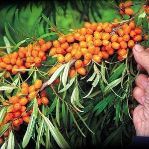 有用植物苗 シーベリー(オス木) 1株 / 国華園|kokkaen