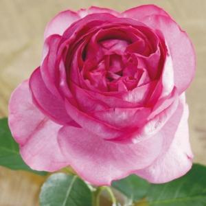 商品情報 フリルが豪華な芍薬咲き。芳醇な香りで数々の賞を受賞した大銘花です。 お届け状態 大苗:接木...