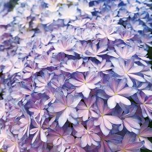 商品情報 星形の愛らしい花は、豪華な八重咲きで、しかも豪華な手毬咲きのアジサイ。花色のグラデーション...