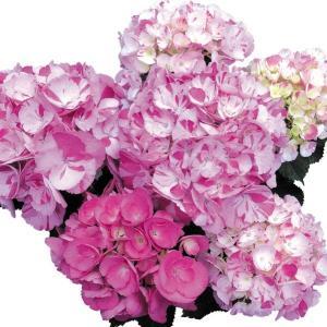 商品情報 アジサイの中では珍しい絞り咲き品種。徐々に変化する花色も楽しめるガクアジサイ。 お届け状態...
