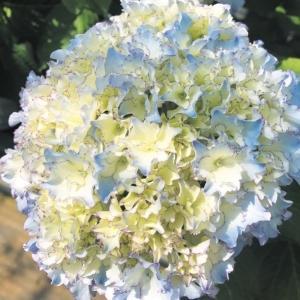 商品情報 ひらひらとフリルの花弁は、白地に赤紫色の覆輪からはじまり、次第に淡いブルーに染まり、咲き進...