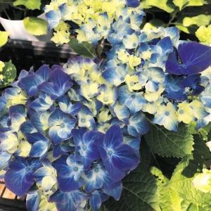 商品情報 咲き始めの、絞りの入った青花は、ハッと息を呑むほどの鮮やかなブルーに変化。更に咲き進むと深...
