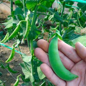 種 野菜たね マメ エンドウ フルーツスナップ 1袋(30ml) / エンドウマメ エンドウ豆 豌豆豆 野菜の種 国華園 kokkaen