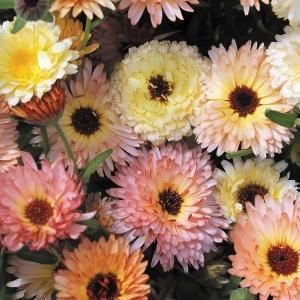 種 花たね キンセンカ アプリコット混合 1袋(300mg) / 花種 花の種 はなたね 金盞花 ポットマリーゴールド カレンジュラ カレンデュラ 切花向き 仏花向き kokkaen