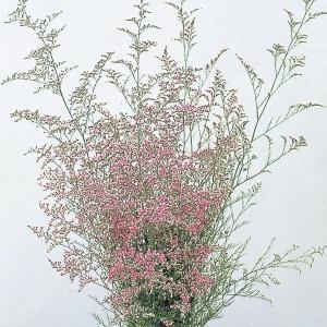 種 花たね 宿根スターチス カスピア 1袋(20粒)