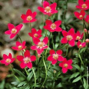 種 花たね アネモネ ルビー 1袋(30粒)
