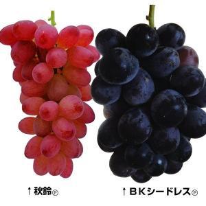 果樹苗 タネなしブドウセット 2種2株 / 苗木 葡萄の苗 ぶどうの苗 皮ごと 美味しい タネなし ...