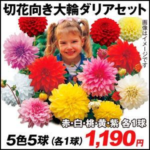 春植え球根 ダリア 切花向き大輪セット 5色5球 (各1球) / 国華園
