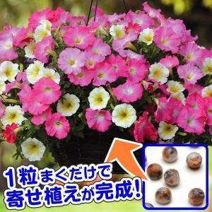 種 花たね 寄せ植えマルチペレット ペチュニア ライズアンドシャイン 1袋(8粒) / タネ 種 花...