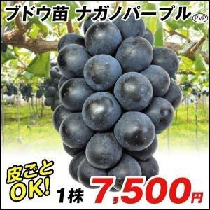 果樹苗 ブドウ 苗木 ナガノパープルP 1株 / ぶどう 葡萄 苗 ぶどうの木 ブドウの苗木