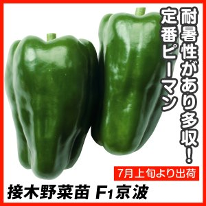 抑制栽培接木野菜苗 接木ピーマン F1京波 4株/送料グループ【R76D3】 kokkaen