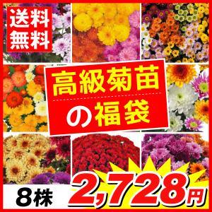 花苗 高級人気菊苗福袋 8株 送料無料|kokkaen