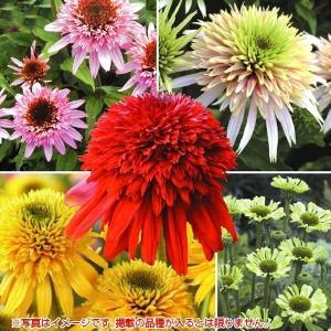 有用植物苗 エキナセア 品種見計らい・名称付 2株 / 国華園|kokkaen