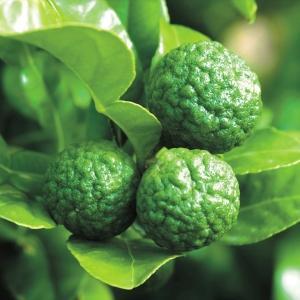 有用植物苗 コブミカン 1株 / 国華園|kokkaen