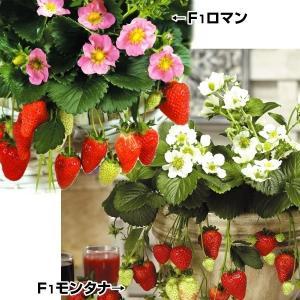 いちご苗 花も綺麗なイチゴセット 2種6株 / 国華園|kokkaen