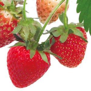 いちご苗 四季なりイチゴ めちゃウマッ!いちごP 3株 / 国華園|kokkaen