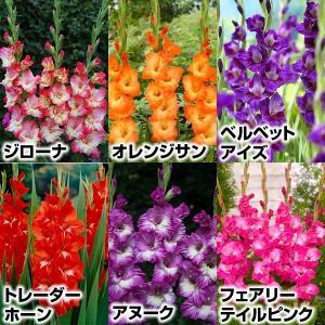 春植え球根 グラジオラスAセット 6種54球 / 国華園