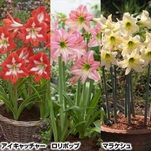 春植え球根 耐寒性ミニアマリリス Bセット 3種3球 (各1球) / 国華園