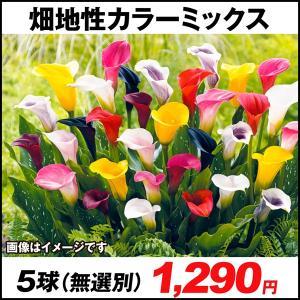 春植え球根 畑地性カラーミックス (無選別) 5球 / 国華園