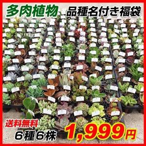 [送料無料] 多肉植物 品種名付き福袋 6種6株 (7.5cmポット・品種見計らい・名称付) kokkaen