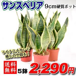 観葉植物 サンスベリア 3号プラスチックポット 5鉢 送料無料|kokkaen