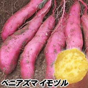 イモヅル(芋づる) ベニアズマイモヅル 10本 / さつまいも苗 サツマイモ苗 薩摩芋|kokkaen
