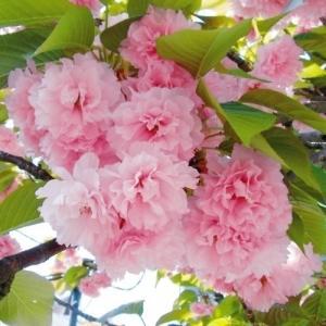 桜 関山 1株|kokkaen