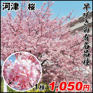 桜 苗木 河津 1株 / 河津桜 かわづざくら かわづ 桜の木 さくらの苗木 早咲き 国華園