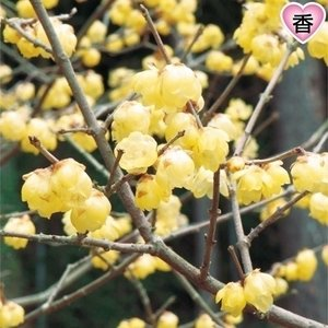 花木 大株ロウバイ 1株 / 国華園