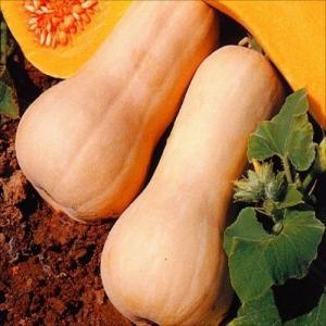 野菜たね カボチャ バターナッツ 1袋(10ml)|kokkaen