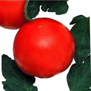 野菜たね トマト ポンテローザ 1袋(1ml) / 種 タネ...