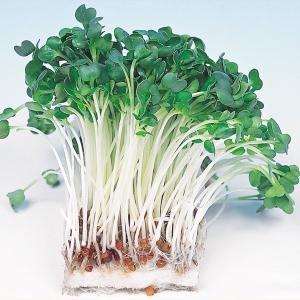 野菜たね 健康野菜 かいわれ大根 1袋(35ml)