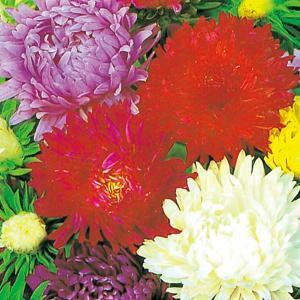 花たね 切花アスター美色混合 1袋(600mg) / 種 タネ