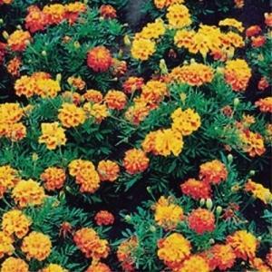 花たね マリーゴールド 八重咲混合 1袋(500mg)|kokkaen