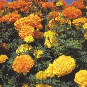 花たね アフリカンマリーゴールド混合 1袋(1000mg) / 種 タネ|kokkaen