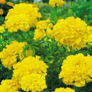 花たね マリーゴールド 高性アフリカンマリーゴールド 黄 1袋(500mg)|kokkaen