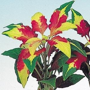 花たね 三色葉げいとう 1袋(80粒)|kokkaen