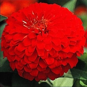 花たね 百日草スカーレット 1袋(1000mg)|kokkaen