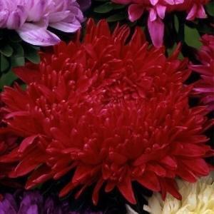 花たね 牡丹咲アスターレッド 1袋(400mg)|kokkaen