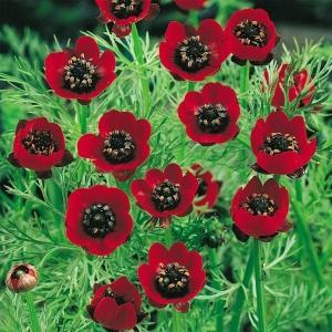 花たね 種 夏咲福寿草 1袋(2000mg) / タネ 種 花壇 鉢植え ガーデニング 国華園