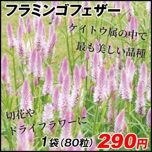 花たね 切花向き けいとう フラミンゴフェザー 1袋(80粒)|kokkaen
