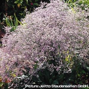 種 花たね 多年草 宿根スターチス(リモニューム) ラティフォリウム 1袋(40粒) / タネ 種 ...