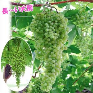 果樹苗 ブドウ ネヘレスコール 1株 / 果物苗 フルーツ苗 葡萄 ぶどう kokkaen