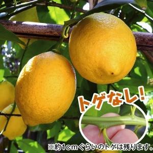 果樹苗 カンキツ トゲなしレモン 1株 / 果物 フルーツ苗 檸檬 れもん kokkaen