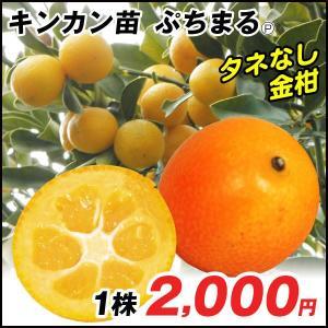 果樹苗 カンキツ ぷちまるP 1株 / 果物 フルーツ苗 きんかん 金柑 キンカン kokkaen