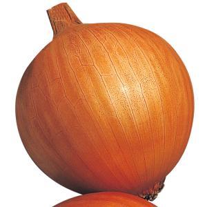 種 野菜たね タマネギ 晩生甲高黄玉葱 1袋(5ml入)/タネ たね たまねぎ 玉ねぎ 玉葱 玉ネギ