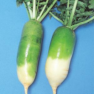 内側まで淡緑色 商品情報 内側まで薄緑色に色付く大根。美味しくてビタミンも豊富! お届け状態 種 根...